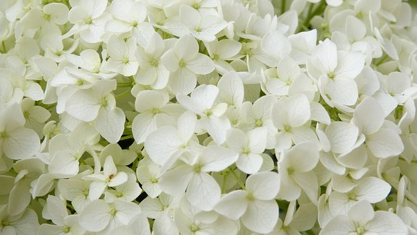 Using Annabelle Hydrangeas For A Gorgeous Backdrop