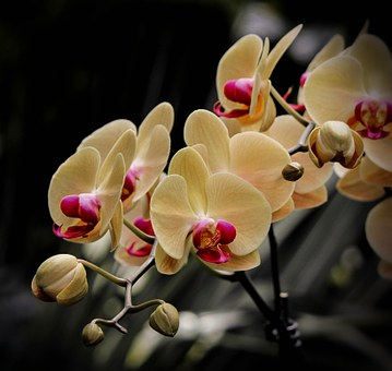 Phalaenopsis Orchids: Growing Tips